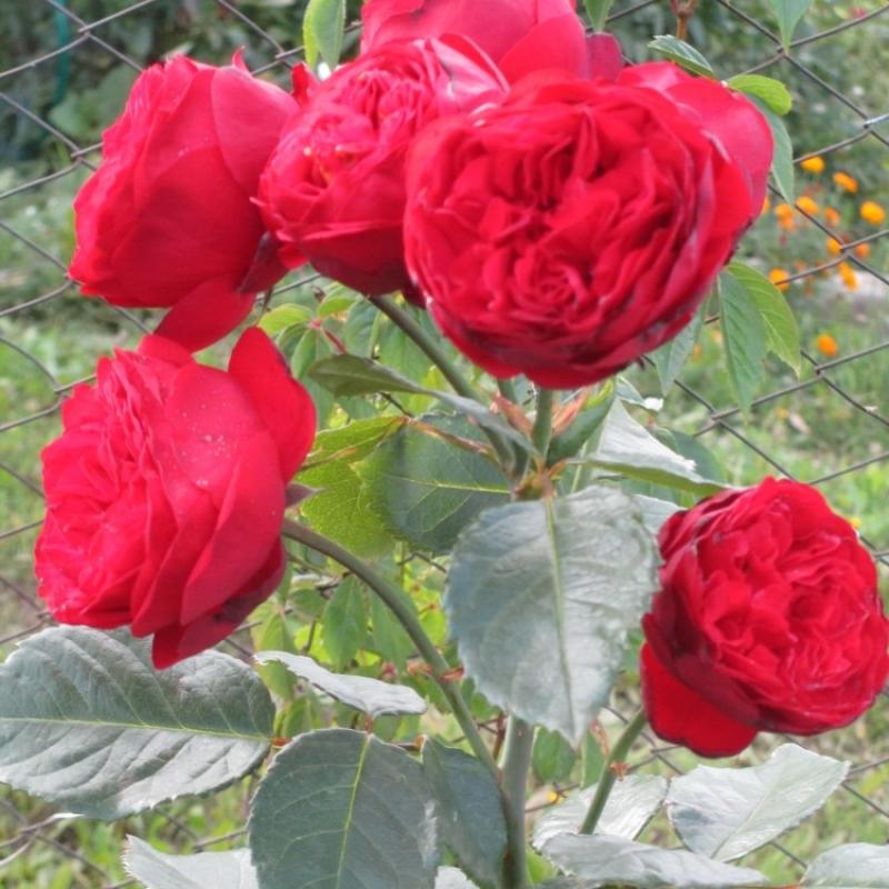 Розы Алмер Мунстер