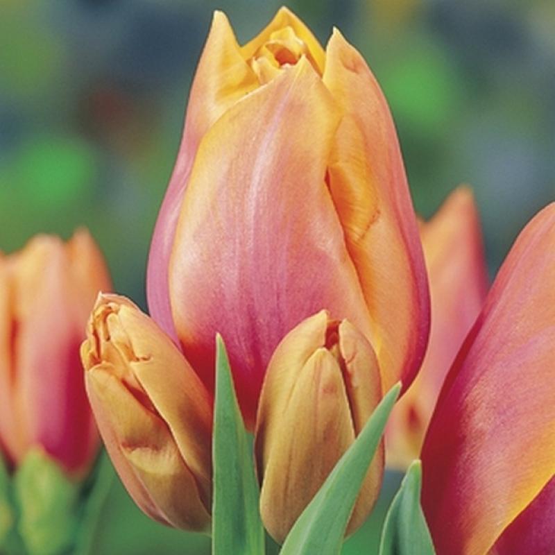 Тюльпаны Драгон Кинг