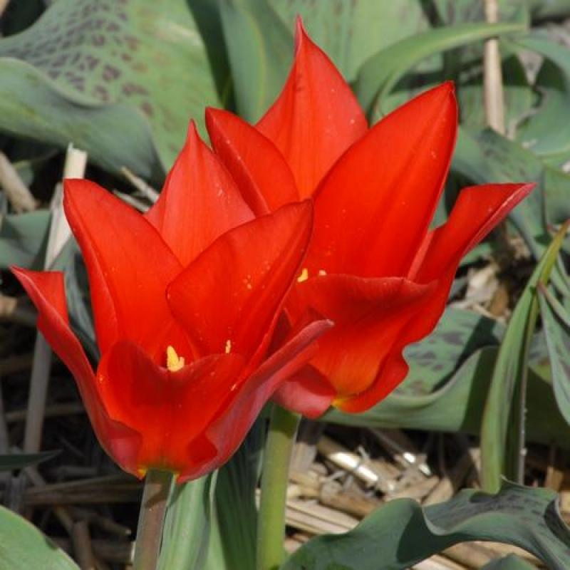 Тюльпаны Сомбреро