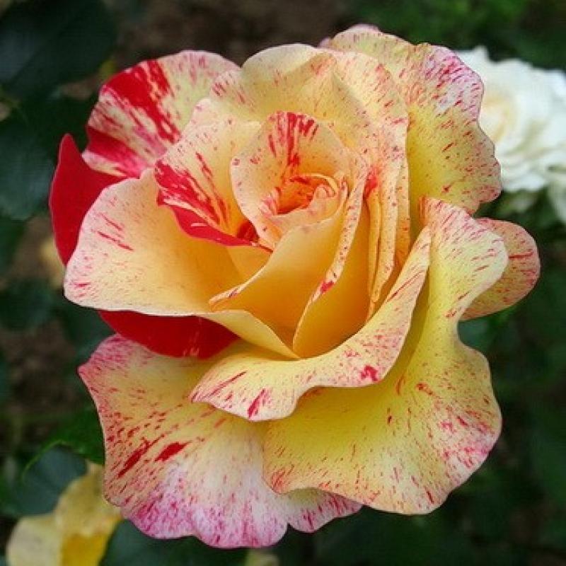 Розы Камилль Писсарро