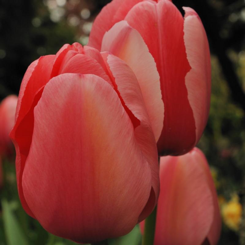 Тюльпаны Монарх Бьюти