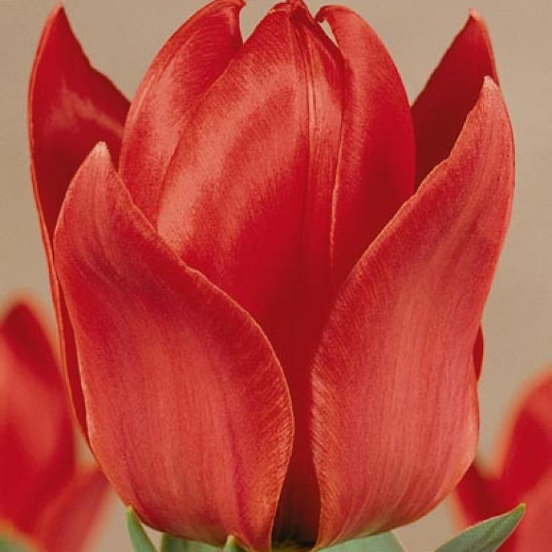 Тюльпаны Франц Лист