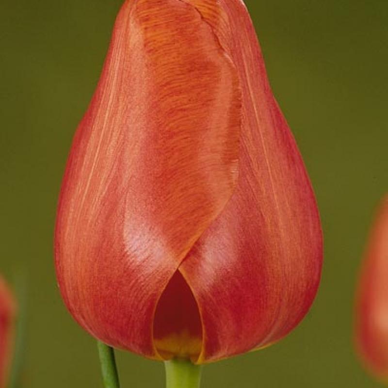 Тюльпаны Хизалис