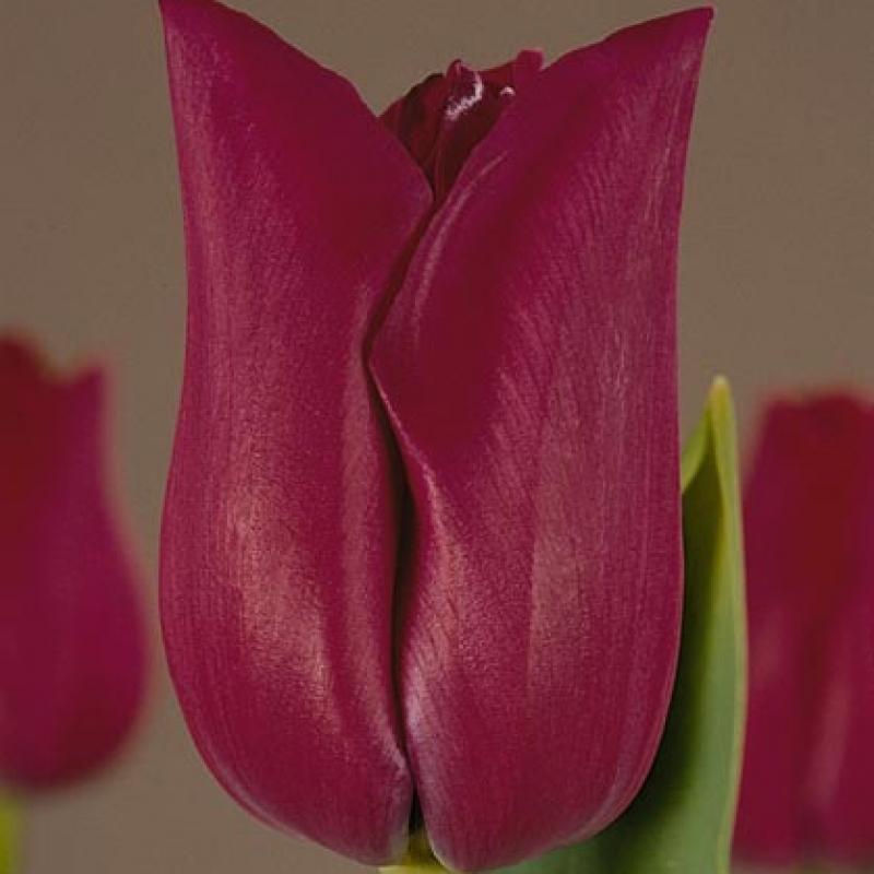 Тюльпаны Бордо