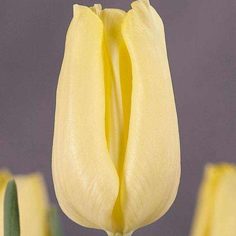 Тюльпаны Виола Холт