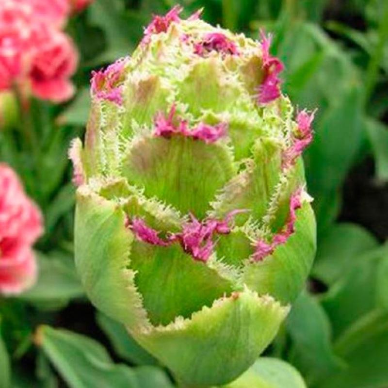 Тюльпаны Перпл Тауэр