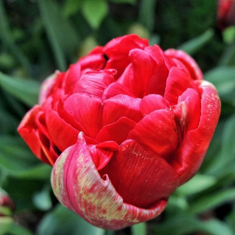 Тюльпаны Ред Бейби Долл