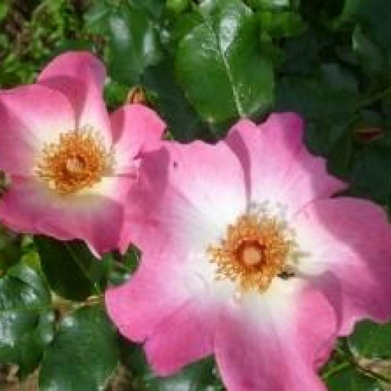 Розы Доломити