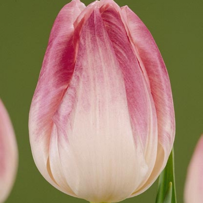 Тюльпаны Ферст Класс