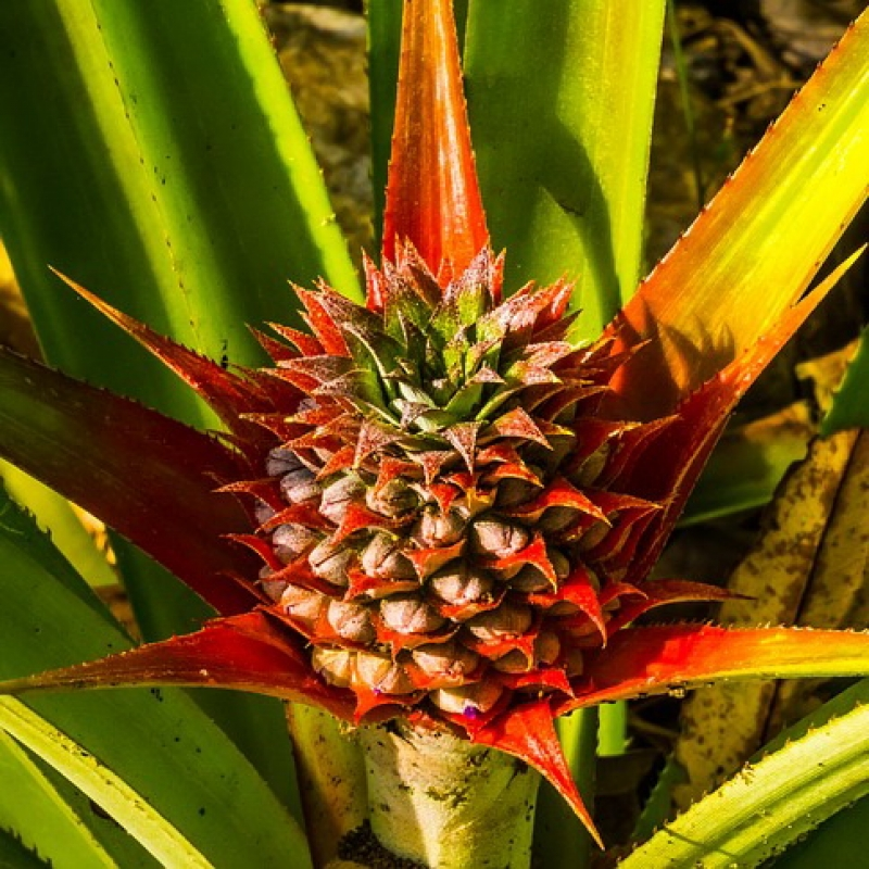 Комнатные растения Ананас