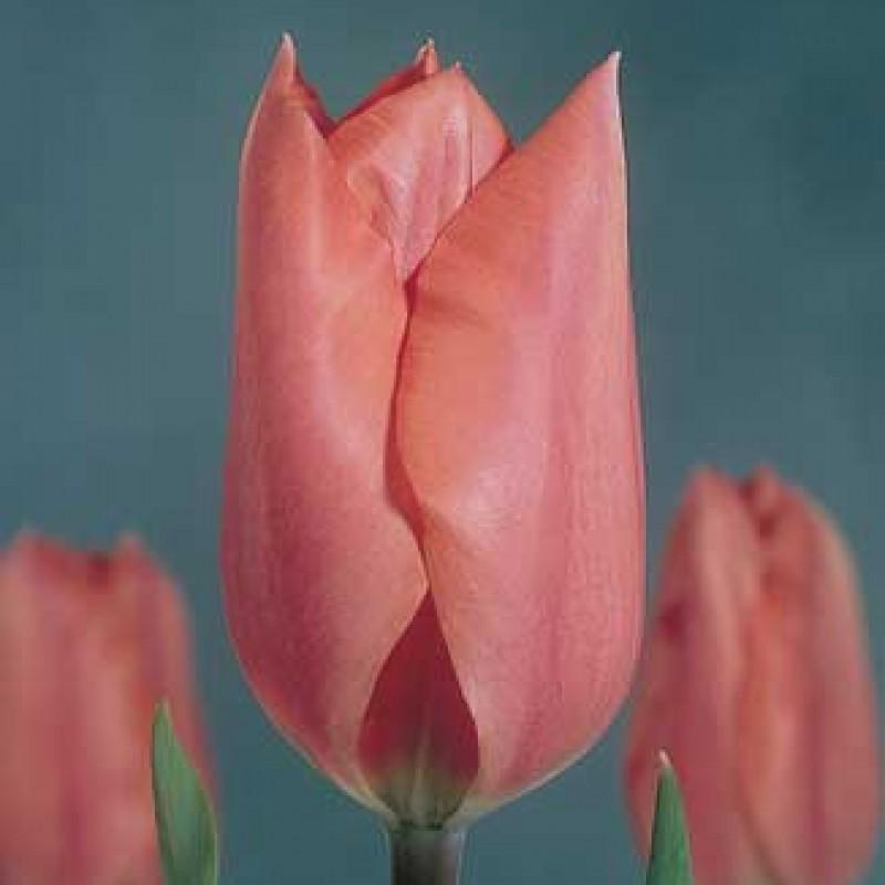 Тюльпаны Палестрина