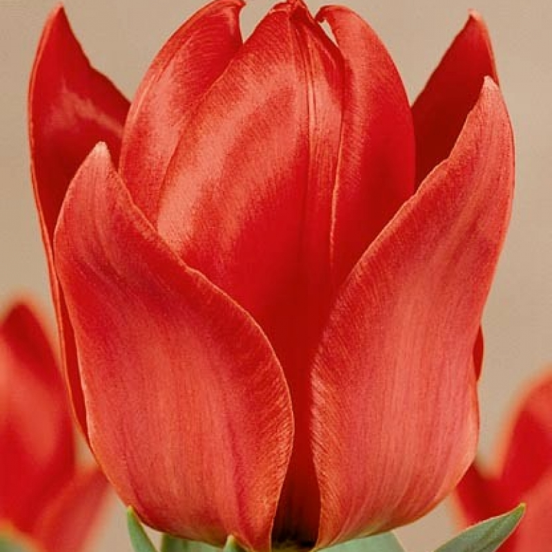 Тюльпаны Флеминг Юз