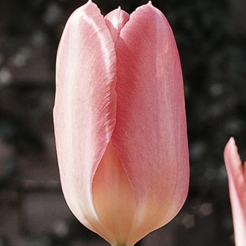 Тюльпаны Рози Уингс
