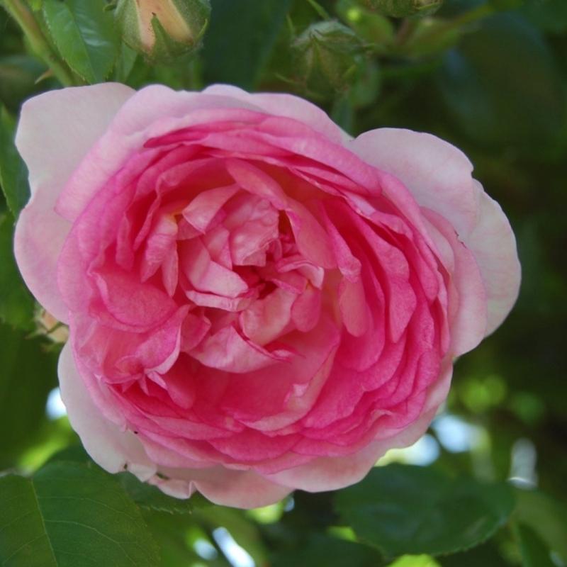 Розы Жасмина