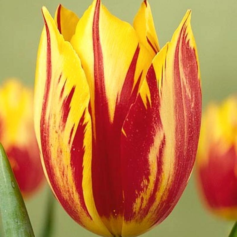 Тюльпаны Принц Карнавал