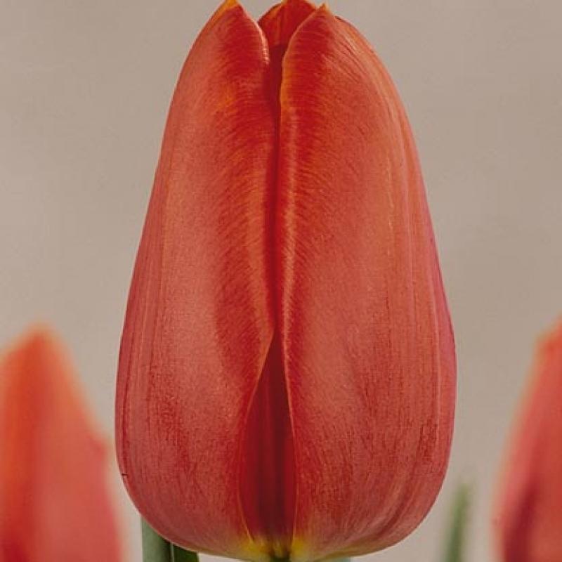 Тюльпаны Кангшолм