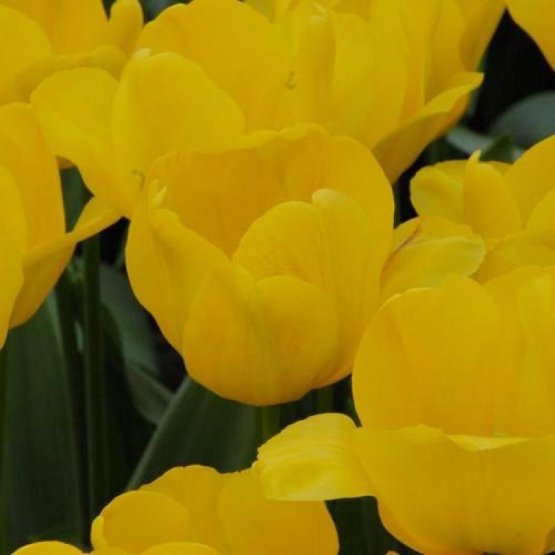 Тюльпаны Голден Презент