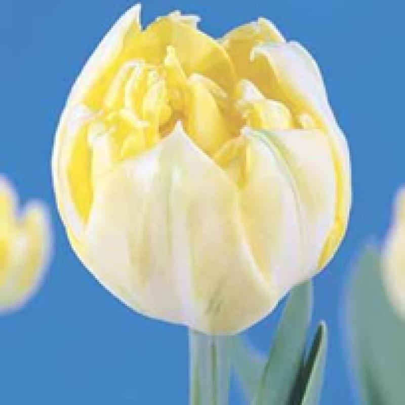 Тюльпаны Йеллоу Маунтэйн