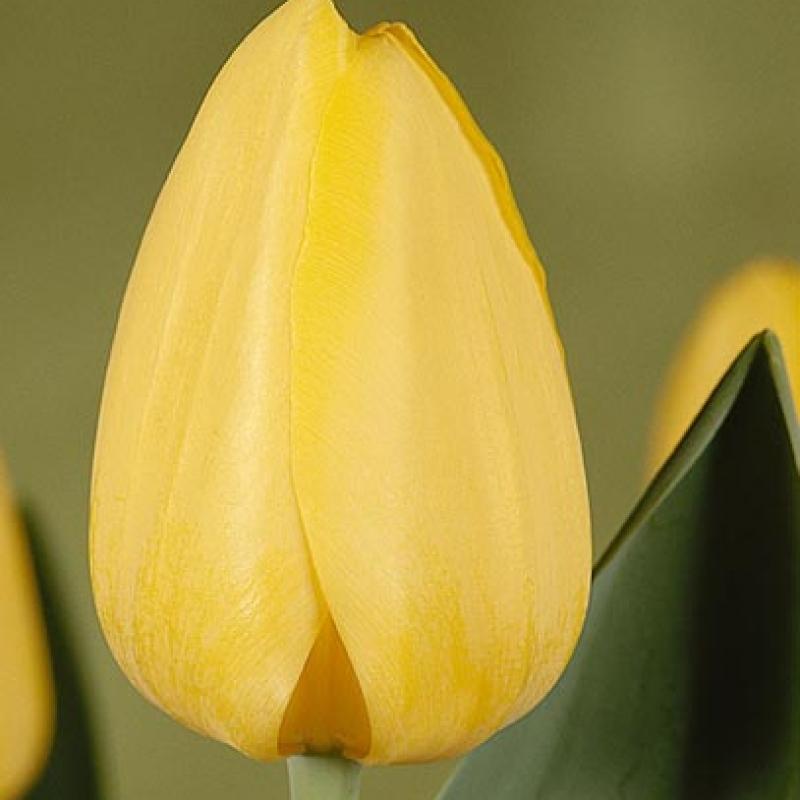 Тюльпаны Цис Плаг