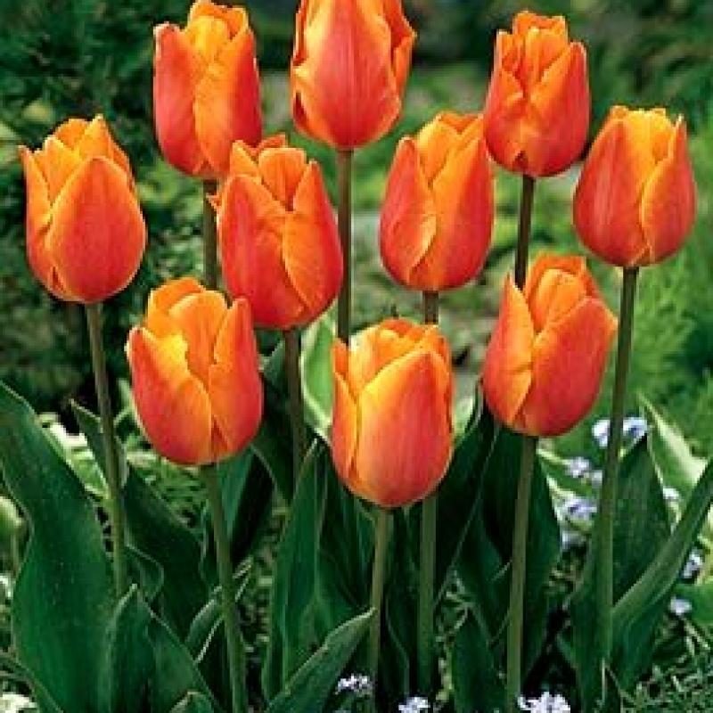 Тюльпаны Прери Файер