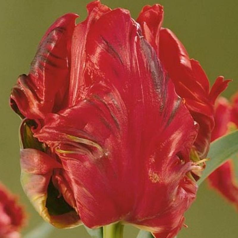 Тюльпаны Ред Сенсейшн