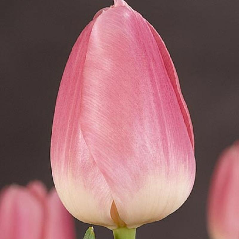 Тюльпаны Шермеер