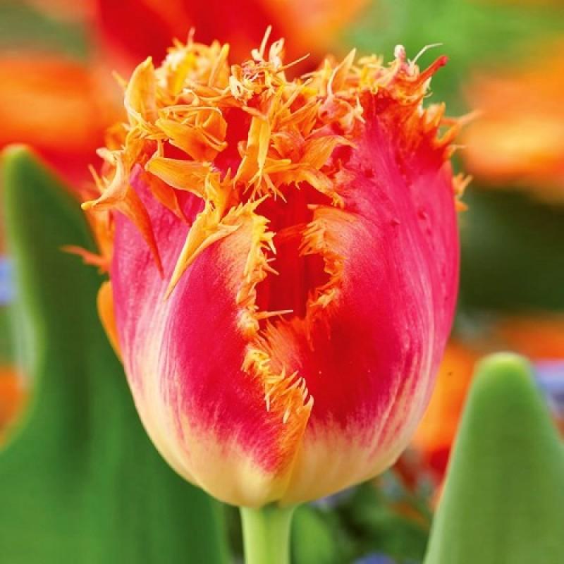 Тюльпаны Реал Тайм