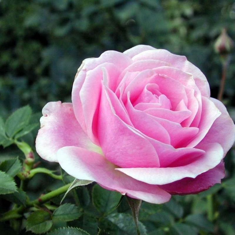 Розы Пинк Симфони