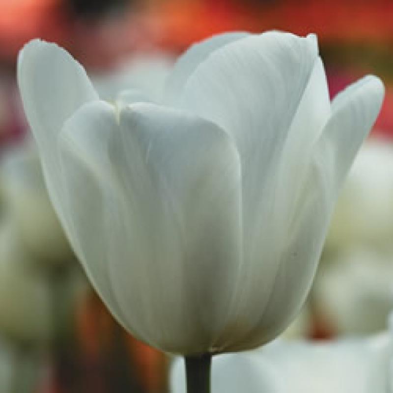 Тюльпаны Синаеда Шоу