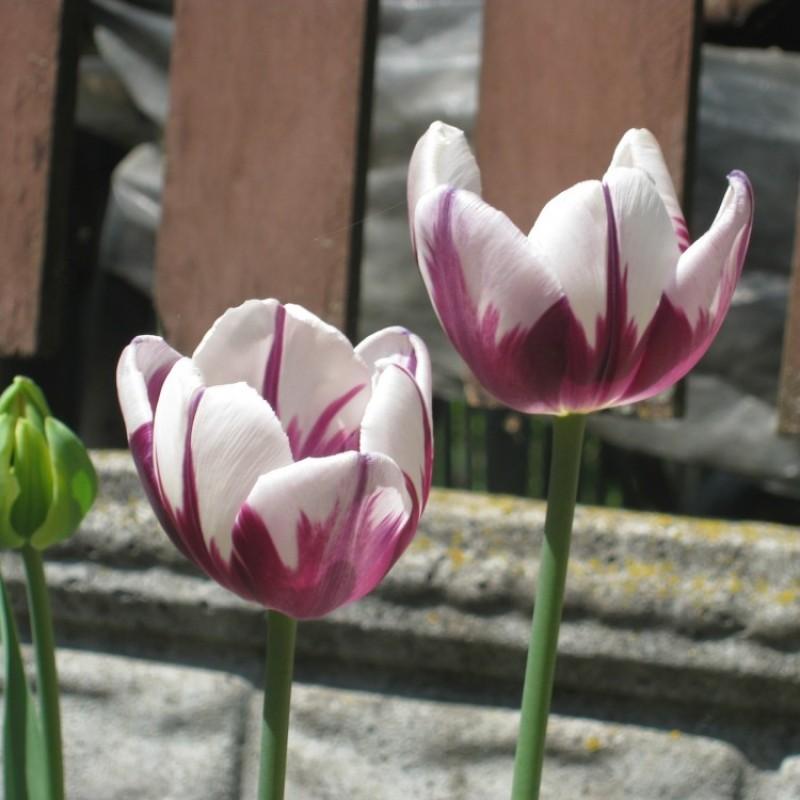 Тюльпаны Зурел