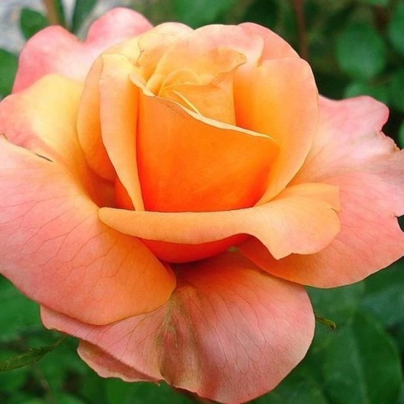 Розы Френези