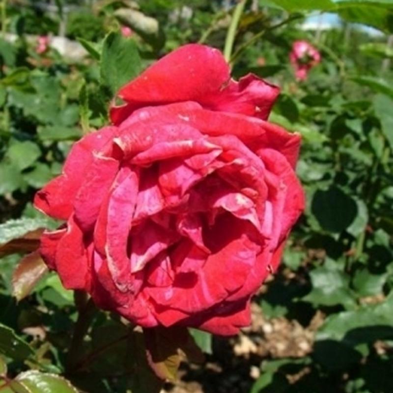 Розы Бриджитт Бордо