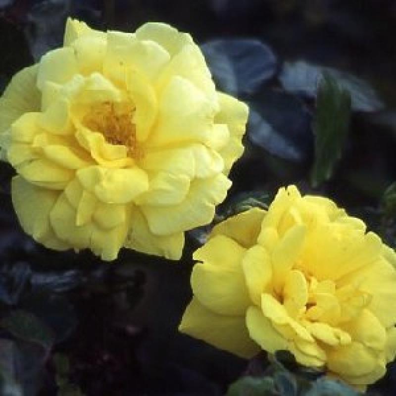 Розы Оллголд