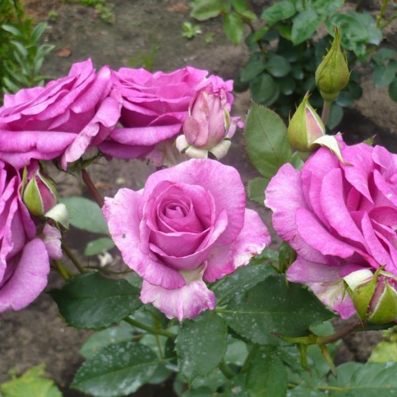 Розы Блю Парфюм