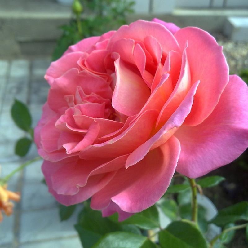 Розы Одри Вилкокс
