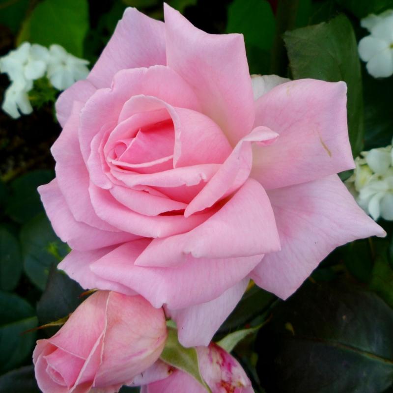 Les roses Helen Robinson