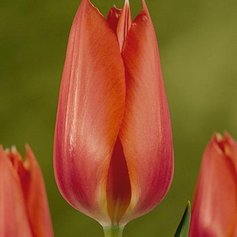 Тюльпаны Халкро