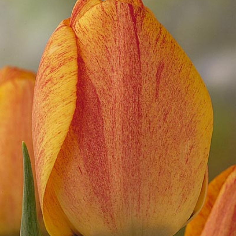 Тюльпаны Гудошник