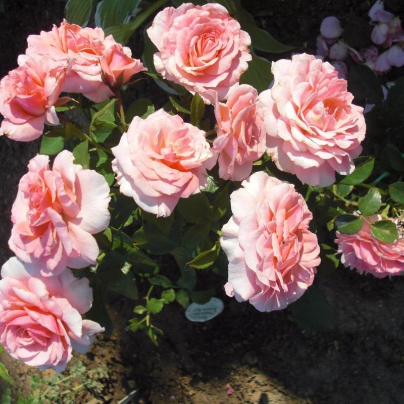 Розы Тиклд Пинк