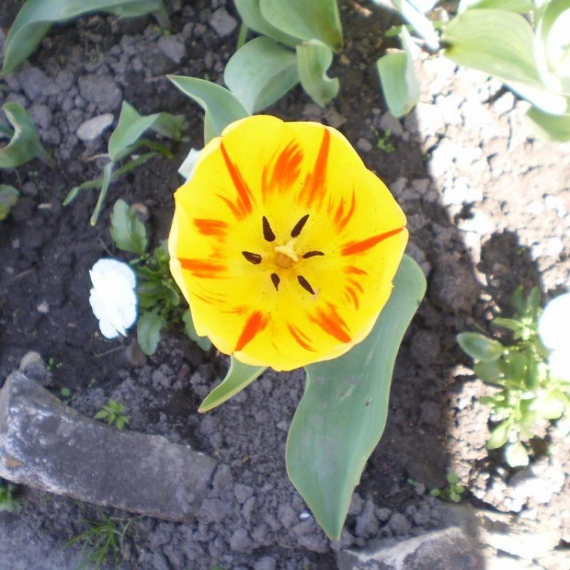 Тюльпаны Бернинг Харт