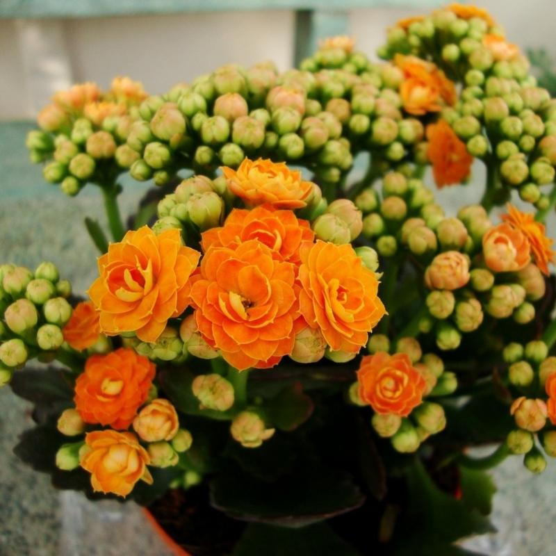 Комнатные растения Каланхоэ