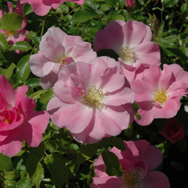 Розы Роял Эдвард
