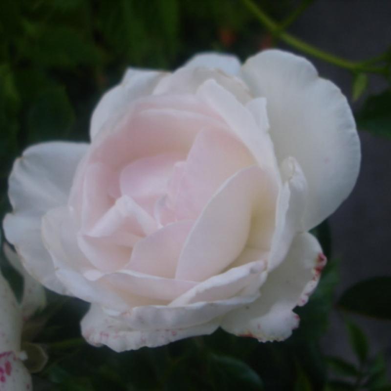 Розы Хельга