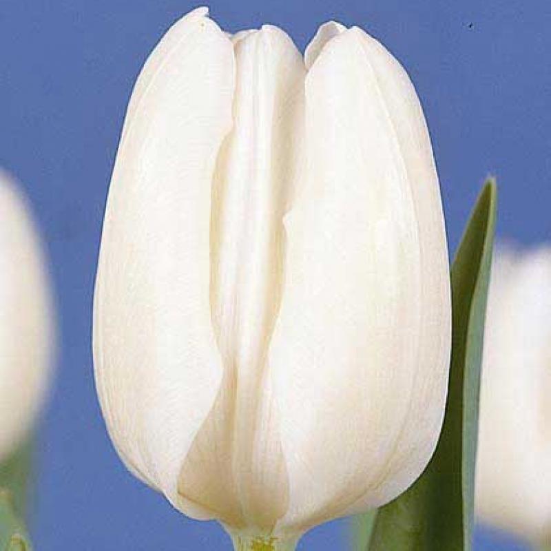 Тюльпаны Уайт Дрим