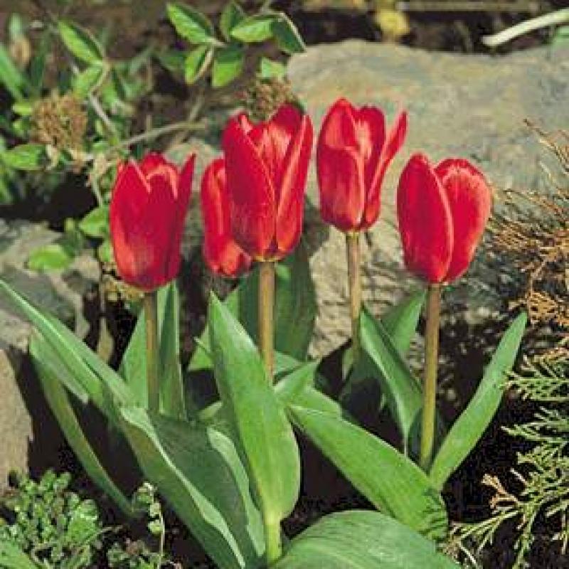 Тюльпаны Шоутайм