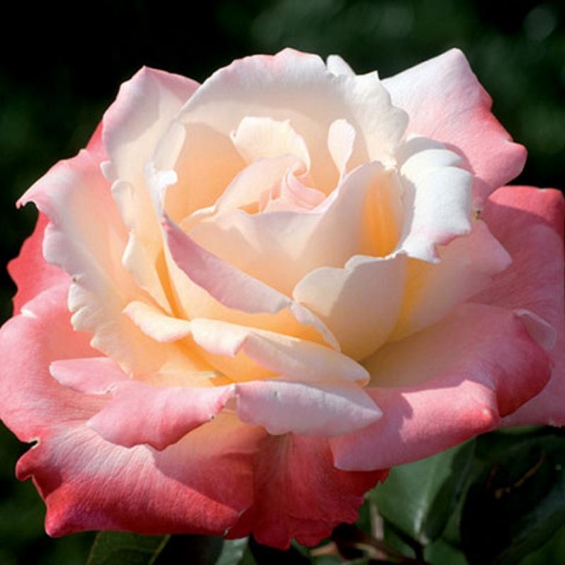 Розы Летиция Каста