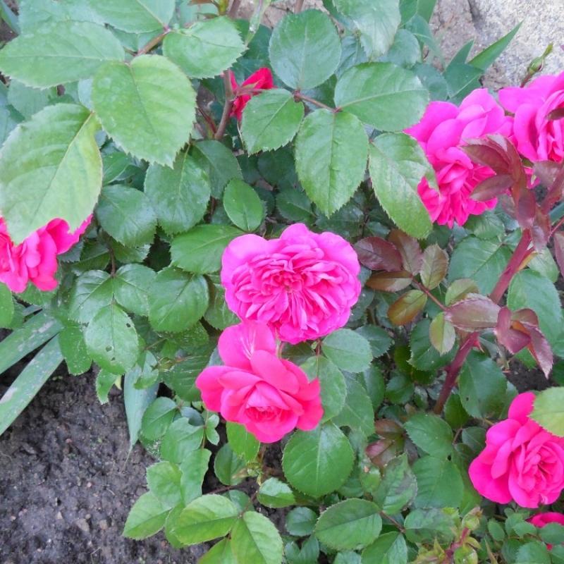 Розы Сангриа