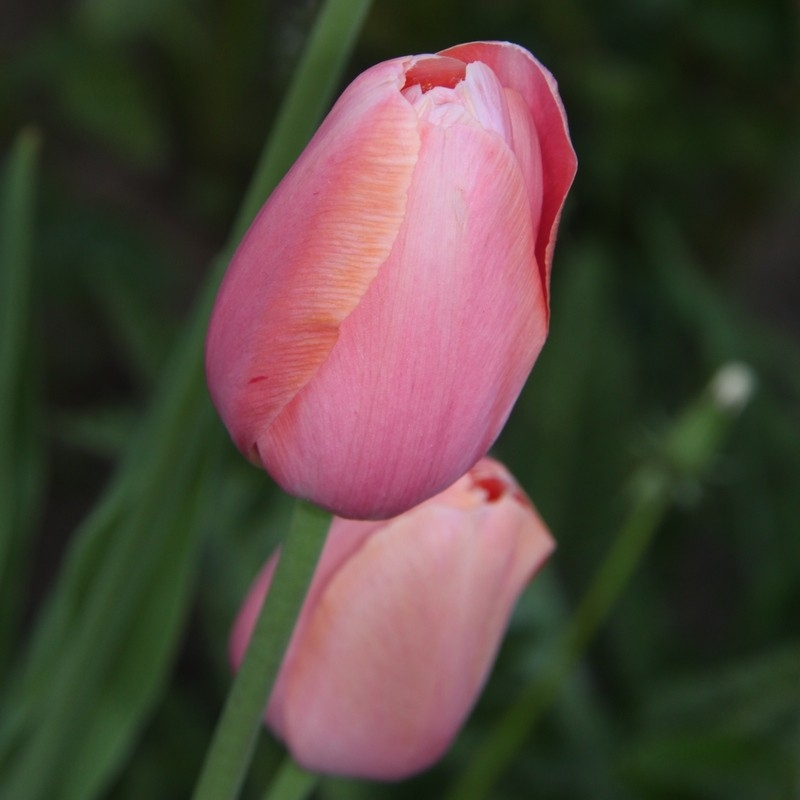 Тюльпаны Ментон
