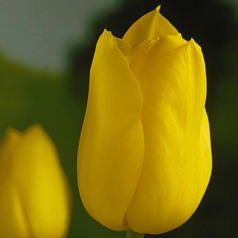 Тюльпаны Голден Мелоди