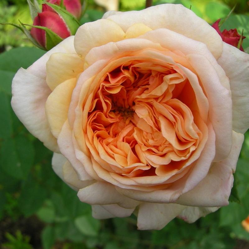 Розы Пегас